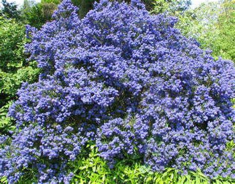 evergreen shrubs with blue flowers ceanothus in flower evergreen grow in any soil hardiest