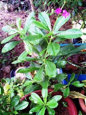 Pokok Ginseng rabbitry muza apa lagi makanan arnab di rabbitrymuza