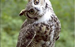 what do baby barn owls eat why do owls hoot wonderopolis