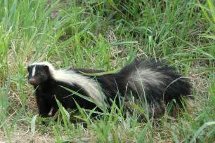 skunk in my backyard backyard beasts skunk diggings and droppings