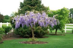 Wisteria home wisteria vines purple wisteria