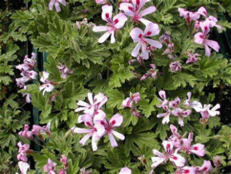 citronella geranium is it really a mosquito repellent