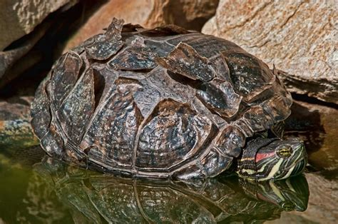 Do Eared Sliders Shed by Eared Slider Turtle Health Infobarrel