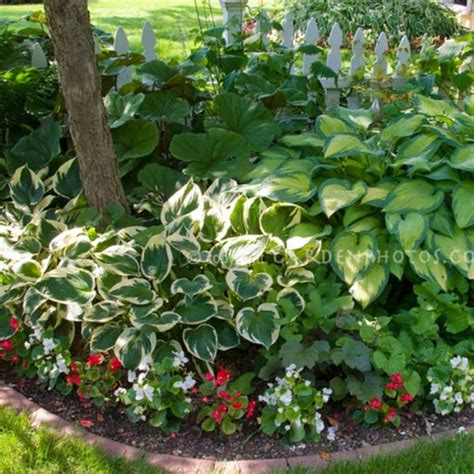 using caladiums in garden ideas photograph bed hosta