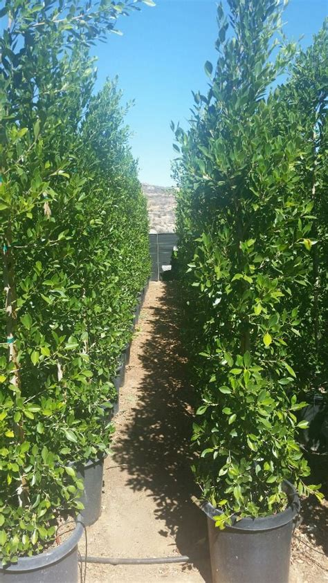 ficus nitida hedge ficus nitida in 15 gallon about 6 7 ft fast