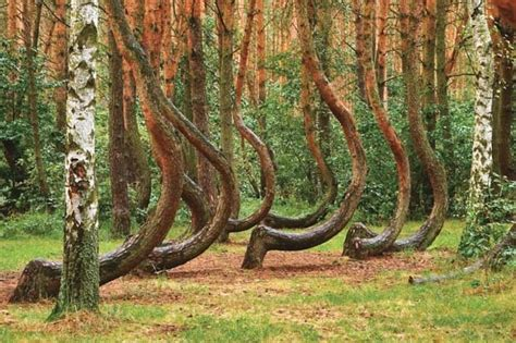 crooked forest poland crooked forest krzywy las donotgothereifyou