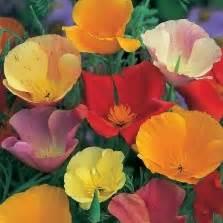 Benih Bibit Biji Cleome Colour Mixed Seeds Import bibit lobak telur paskah