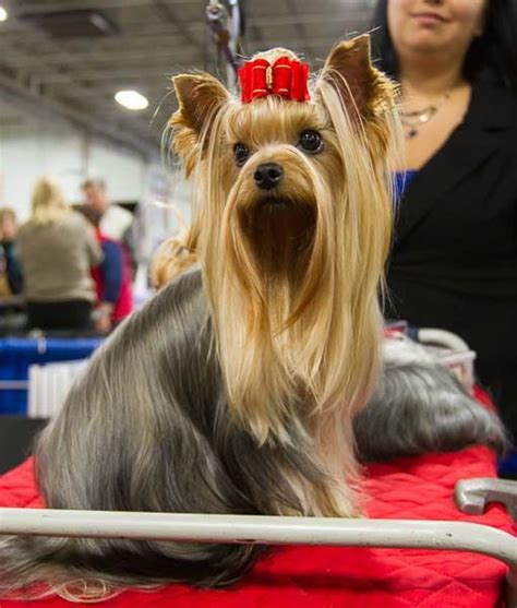 show me a yorkie 17 best ideas about terrier haircut on yorkie terrier