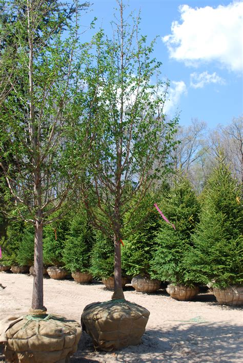 Planters Choice Newtown Ct by Shade Trees Planters Choice