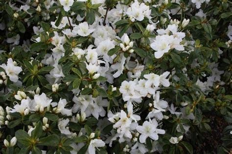 popular flowering shrubs pin by hickory hollow nursery and garden center on shrubs