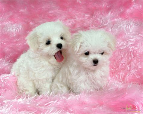 baby baby puppies white baby wallpaper 15319