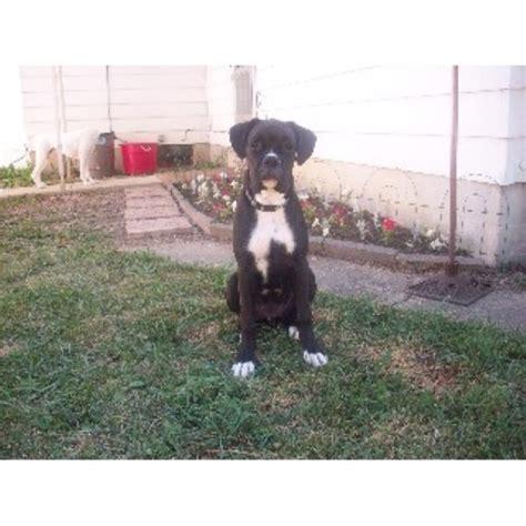 free puppies flint mi black boxer stud boxer stud in flint michigan