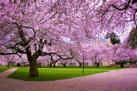 fiori in giapponese ciliegio giapponese significato fiori significato