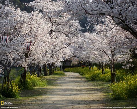 cherry tree national 15 breathtaking national geographic wallpapers the design work