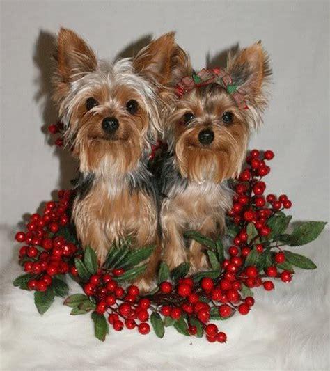 images of christmas yorkies 255 best christmas yorkies images on pinterest yorkie