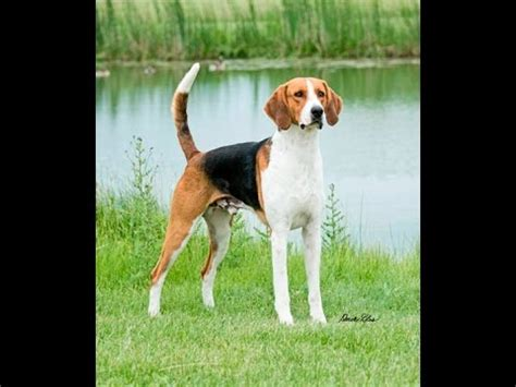AMERICAN FOXHOUND - appearance, barking, playing, hunting ...
