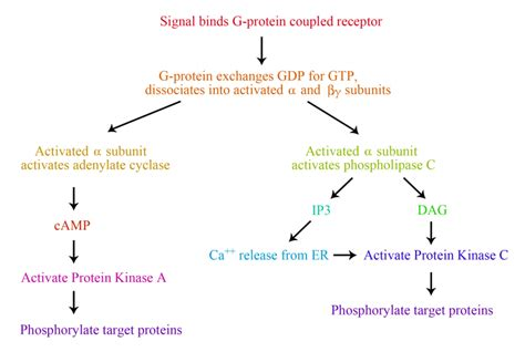 g protein coupled receptor steps 8 4 g protein coupled receptors gpcrs biology libretexts