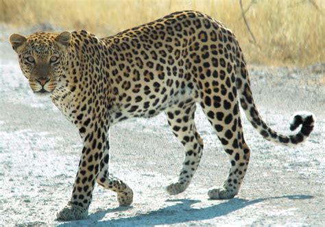 louisiana leopard fichier namibie etosha leopard 01edit jpg wikip 233 dia