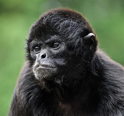 black monkey black faced spider monkey d3a 5929 black faced spider