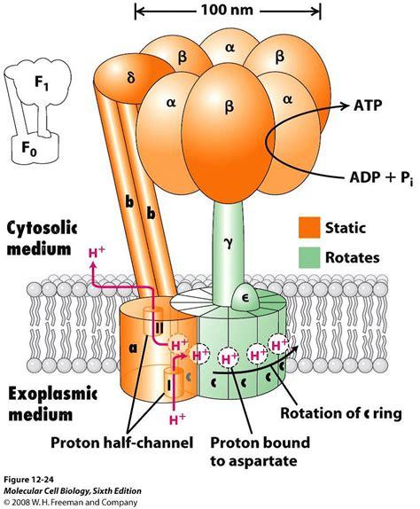 Atpase Proton Atp Biochemist01