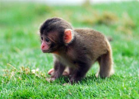 imagenes comicas de monos gu 237 a sobre los monos animaleshoy