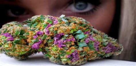 colorful marijuana colorful cannabis buds zenpype
