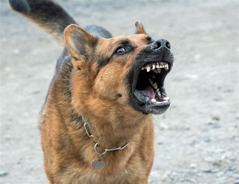 german shepherd barking how to stop a german shepherd from excessive barking