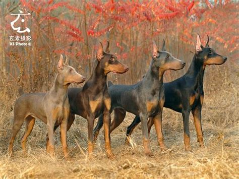doberman colors dsc 0333 dobermans doberman pinscher and