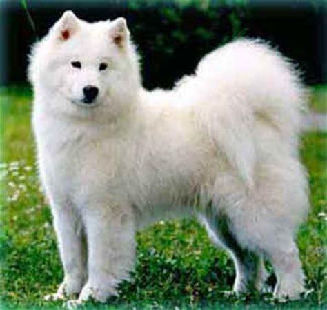 shoo per cani fatto in casa 100caniegatti post con tag samoiedo