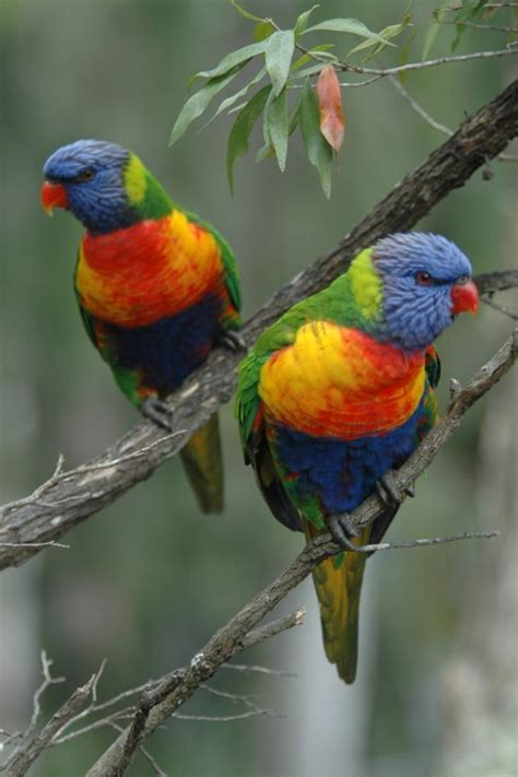 australian rainbow lorikeets you can buy handmade