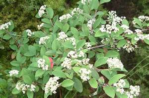 white flowering shrubs flowering shrubs with white flowers pictures to pin on