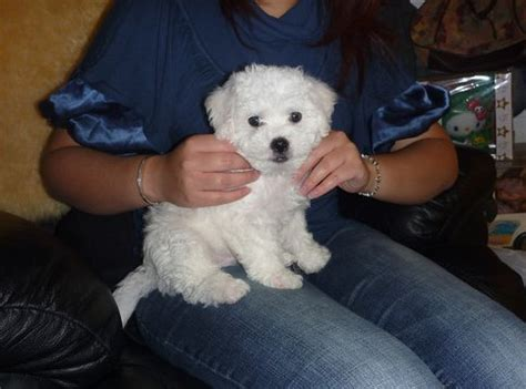 how to give a bichon a puppy cut puppy grooming for bichon frise puppies tips on how to
