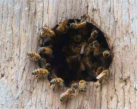 how to get rid of bees in house siding how to get rid of woodpeckers
