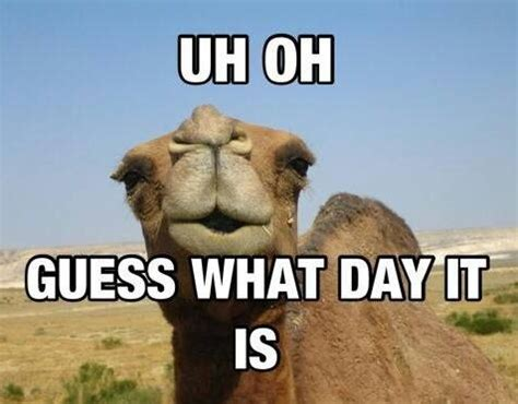 Happy Hump Day Meme - camel meme amanda s new life