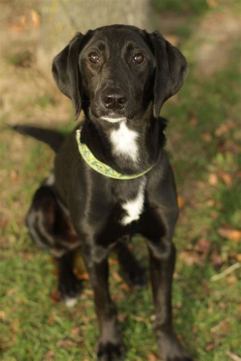german shorthaired pointer lab mix puppies for sale 27 best images about labrador german shorthaired pointer mix puppies on