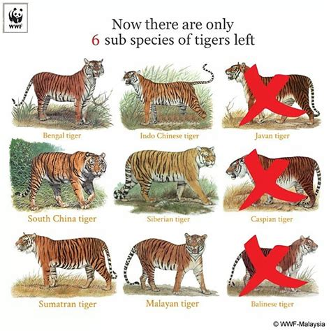 just 100 years ago there were 9 subspecies of tigers tdy