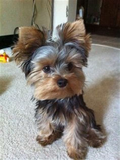 yorkie rear end with long hair pictures yorkie haircuts excellence hairstyles gallery furry