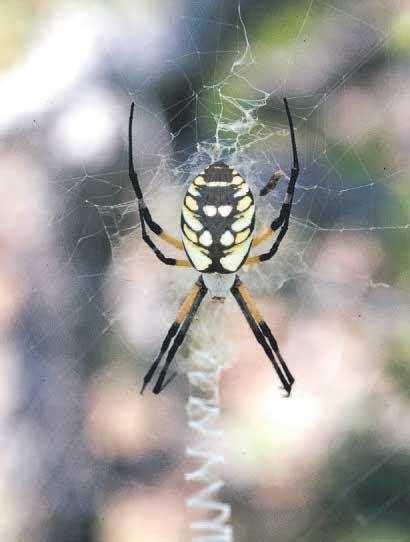Garden Spider Colorado In Your Colorado Garden Spiders Are Mostly Superheroes