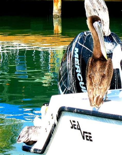 pelican boat key west brown pelicans on charter boat at hurricane hole marina in