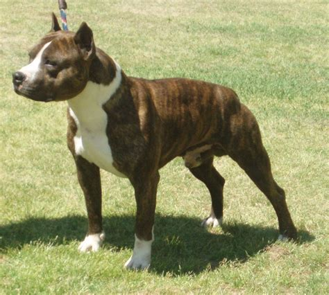 staffordshire terrier puppy american staffordshire terrier puppies myideasbedroom