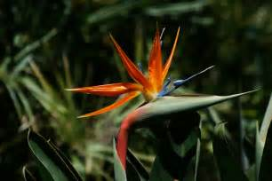 how to transplant bird of paradise garden guides