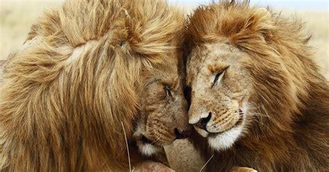 imágenes de leones juntos imagenes de leones imagen pareja de leon y leona