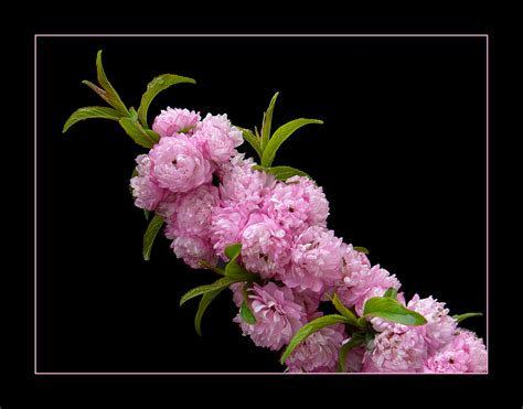 fiori di pesco giapponese 050 ciliegio da fiore giapponese foto immagini piante