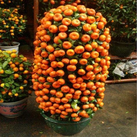fruit tree seeds get cheap fruit trees plants aliexpress