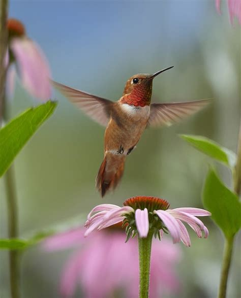 17 best images about hummingbirds on pinterest arizona
