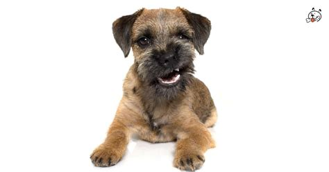 border terrier puppies for sale border terrier puppies for sale puppies 4 all