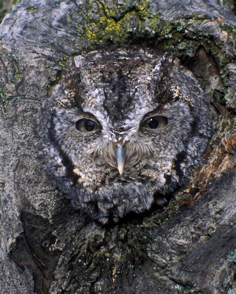 eastern screech owl audubon field guide