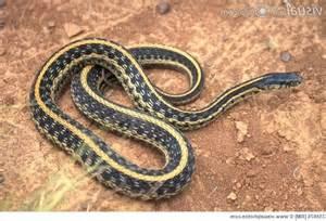 Garden Snake Identification Garden Snakes Photos
