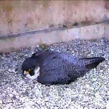 40 best images about falcons nest on pinterest atlanta falcons football wall and blog 28 best images about peregrine falcon information on
