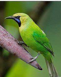 penangkaran burung cucak hijau tanaman hias